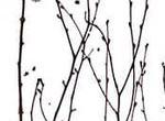 3Form Birch